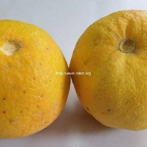 庭の果樹から~まずはオレンジとレモン