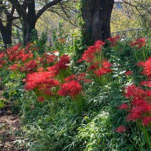 華やかに赤く咲け