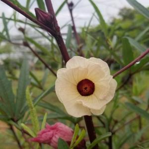 ローゼル開花