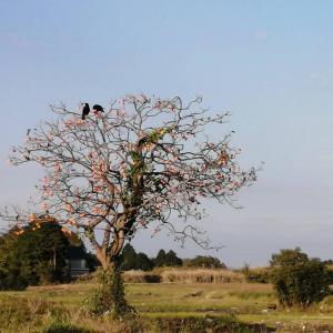カラスと柿の木