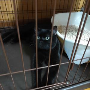 新たな家族を迎えました。나으리 黒猫のマンチカン。。。