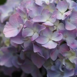 【写真】紫陽花が色付いて来ました
