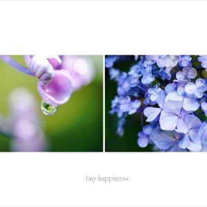 紫陽花まつり…前日 prologue *