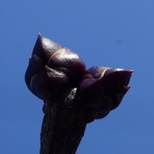 リラの花の蕾