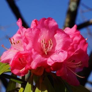 セイヨウシャクナゲ(西洋石楠花)   ~遙かに南アルプスの雪嶺~