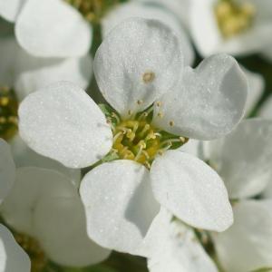 ユキヤナギ(雪柳) ~花みちて~