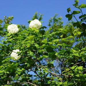 ビバーナム・スノーボール(西洋手毬肝木) ~木漏れ日と花と風のハーモニー~