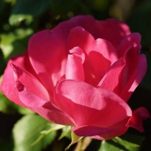 バラ(ピンクノックアウト) ~薔薇の朝~