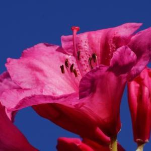 セイヨウシャクナゲ(西洋石楠花) ~草取りを~