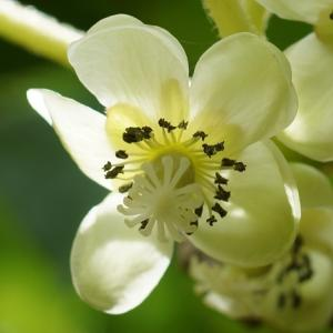 サルナシ(猿梨)   ~白い花と小さな実~