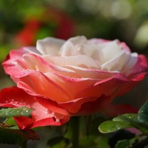 バラ・ノスタルジィ(薔薇・Nostalgie)  ~ふるさとは…悲しくうたふもの~