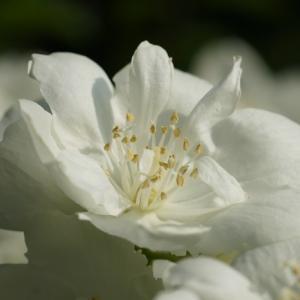 バイカウツギ(梅花空木) ~畑と遊園地に~