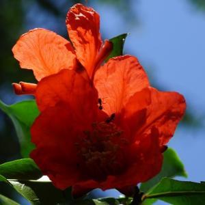 ザクロ(石榴の花) ~色の対照~