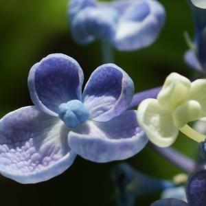 オタフクアジサイ(お多福紫陽花・渦紫陽花) ~ユニークな形と名前~