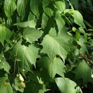 キレンゲショウマ(黄蓮華升麻) ~緑陰に咲く~