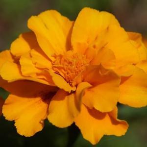 マリーゴールド(marigold) ~スチームクリーナー~