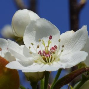 ナシ(梨・幸水の花) ~受粉をどうする~