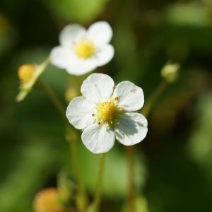 ワイルドストロベリー(Wild strawberry) ~小さな白い花と小さな実と小さな虫~