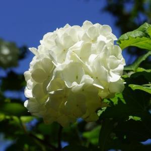 ビバーナム・スノーボール(西洋手毬肝木) ~蒔いた種、埋めた種~