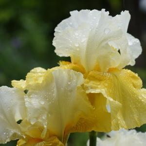 ジャーマンアイリス(German iris) ~雨の中で~