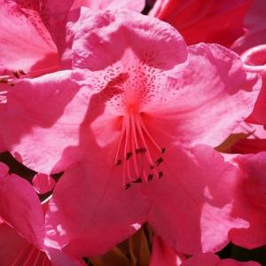 セイヨウシャクナゲ(西洋石楠花) ~相変わらずの美声~