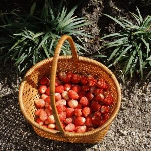 ワイルドストロベリー(Wild strawberry) ~小さいけれど~