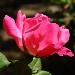 バラ(薔薇・ピンクノックアウト) ~薔薇の言葉~