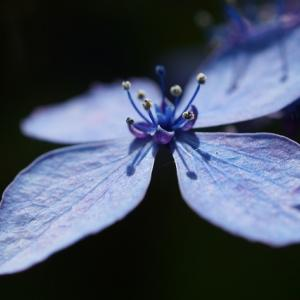 ヤマアジサイ(山紫陽花) ~それはいかにも林の中の色~