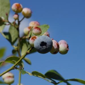ブルーベリー(blueberry) ~小籠に摘む~