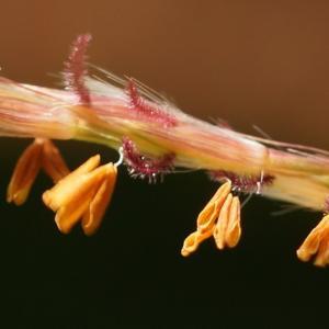 タカノハススキ(鷹の羽薄) ~ぶらぶらと小さな花が…~