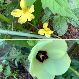 ゴーヤー&ネリの花♪