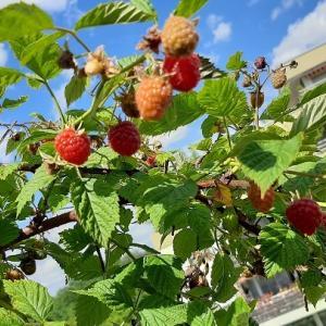ラズベリー収穫期