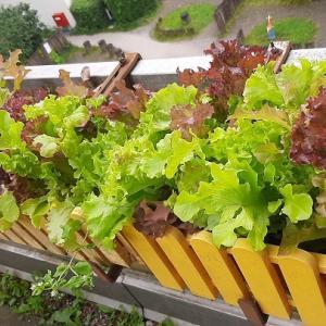 2021・夏の家庭菜園のキロク