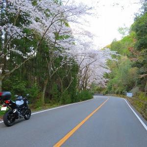 765 やっと桜に会えた,嵐山高雄パークウェイ