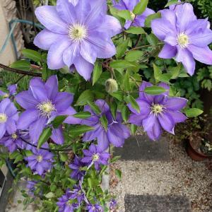 【おうちで過ごそう④】クレマチス、咲きました♡
