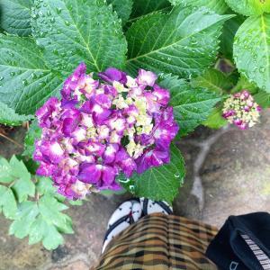 【6月の庭】紫陽花が咲きました♡