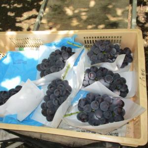 発送するブドウ