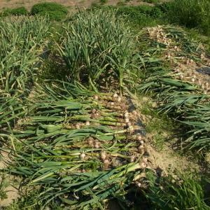 暖地系ニンニクの収穫
