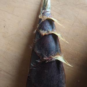 筍採りました。