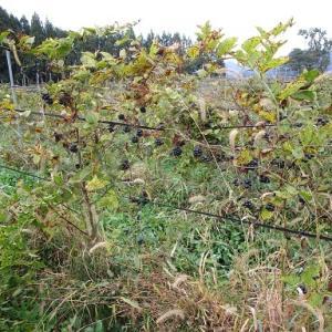 シオデ畑の秋作業