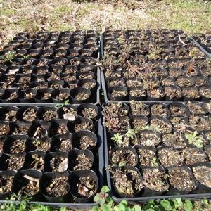 苗の除草と客土
