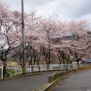 桜が満開・ひでこ発芽始まる