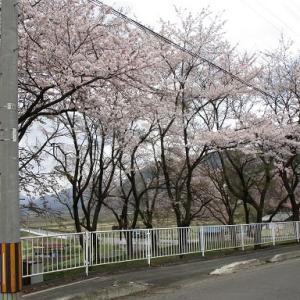 桜満開・シオデ発芽
