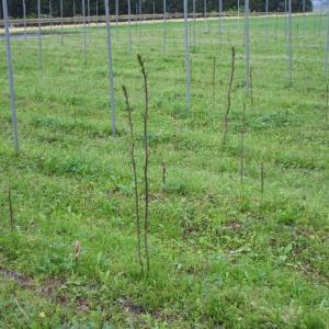 シオデの萌芽が始まりました。