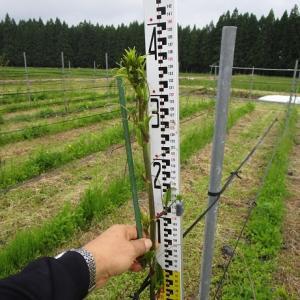 シオデの収穫作業始まる