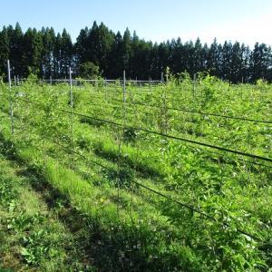 畑の栽培シオデと宅地のシオデ
