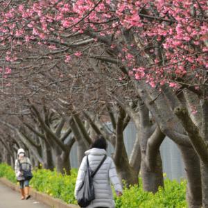 桜が見頃ですよ〜  ②