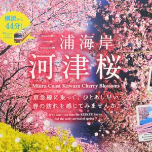 そろそろ見ごろ『三浦海岸 桜まつり2020』③