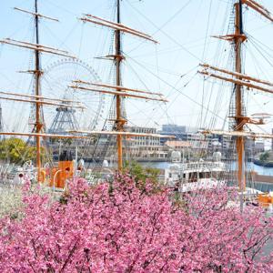 桜、今見頃? 『そうだ 横浜、行こう』