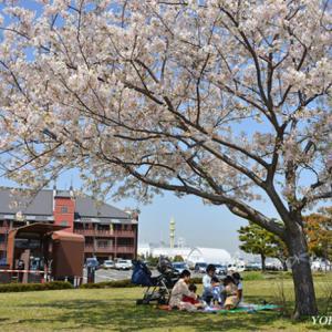 三色桜が‥‥ 『そうだ 横浜、行こう』